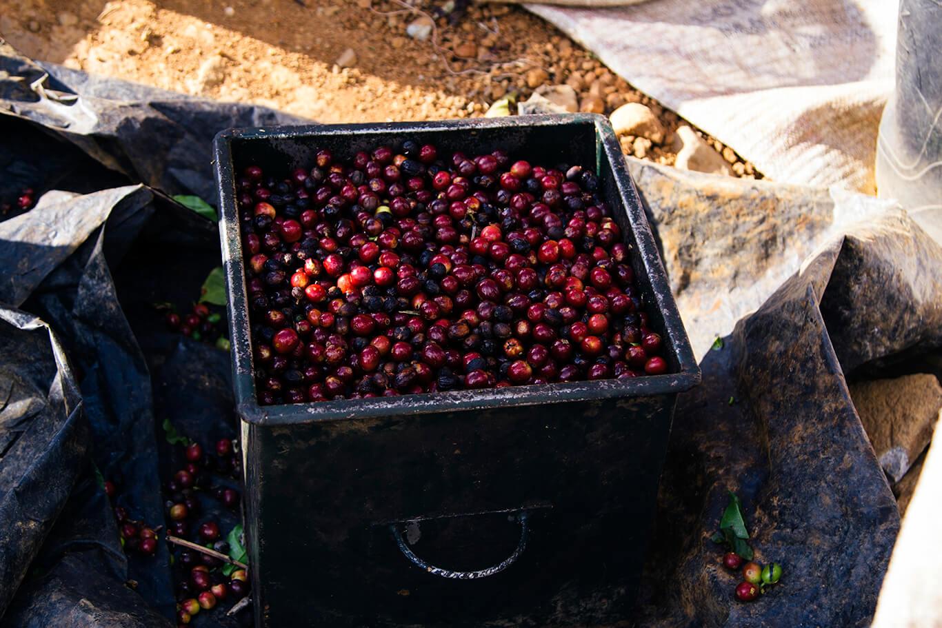 """La medida, llamada """"cajuela"""", está valorada entre mil a mil quinientos colones, dependiendo del color del fruto."""