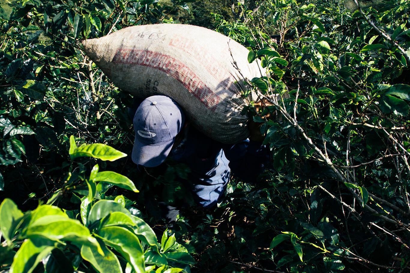 Luego de un largo de día de colecta, los granos son sacados del monte para ser medidos.