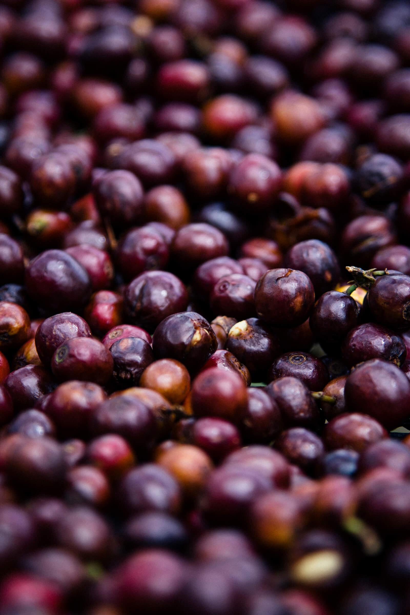 """""""Pintón"""" o fruto de café maduro."""